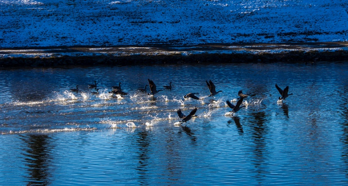Canada Geese taking off