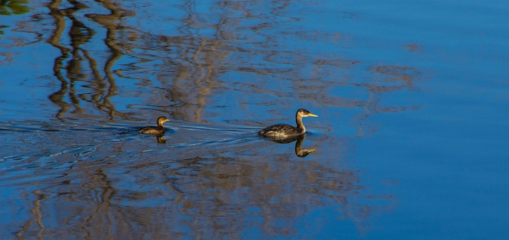 Pied-billed and Red-necked Grebes