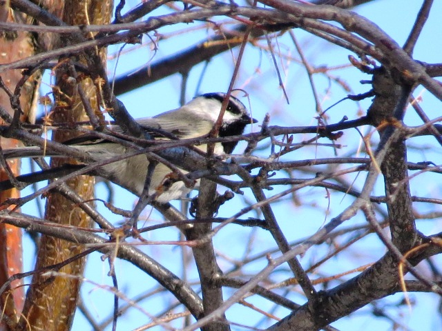 12-10-2012 088 Mountain Chickadee