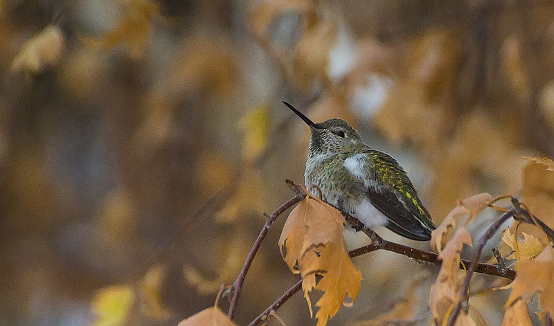 Anna's Hummingbird - #228