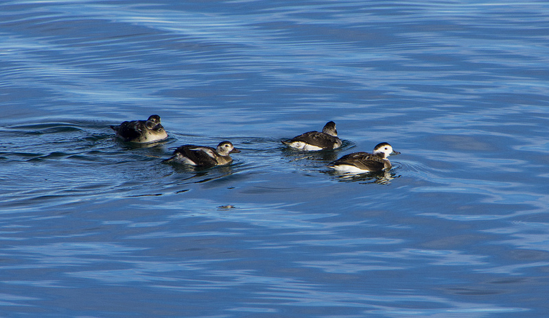 Long-tailed Duck - This group of four seemed to be fairly comfortable getting close to the shore, and many excited birders - #227