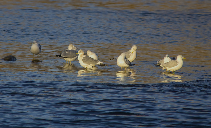 Mew Gull amongst a number of Ring-billed Gulls - #231