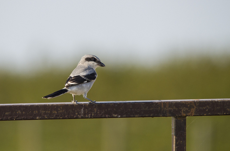 Loggerhead Shrike - species #205