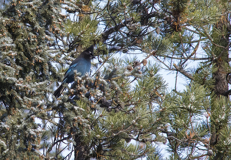 Steller's Jay - a fairly rare bird in these parts, and my last new tick for the year. - #236!