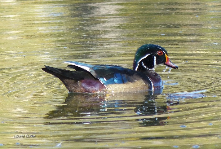 Wood Duck-wm
