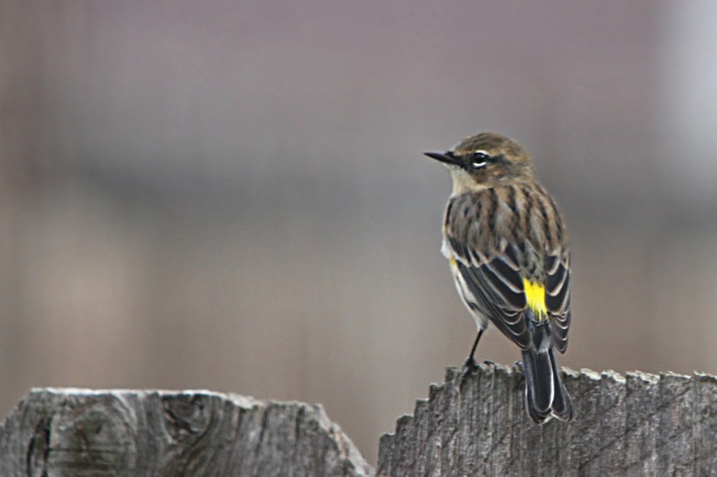 Yellow-rumped Warbler; showing off that characteristic yellow rump!