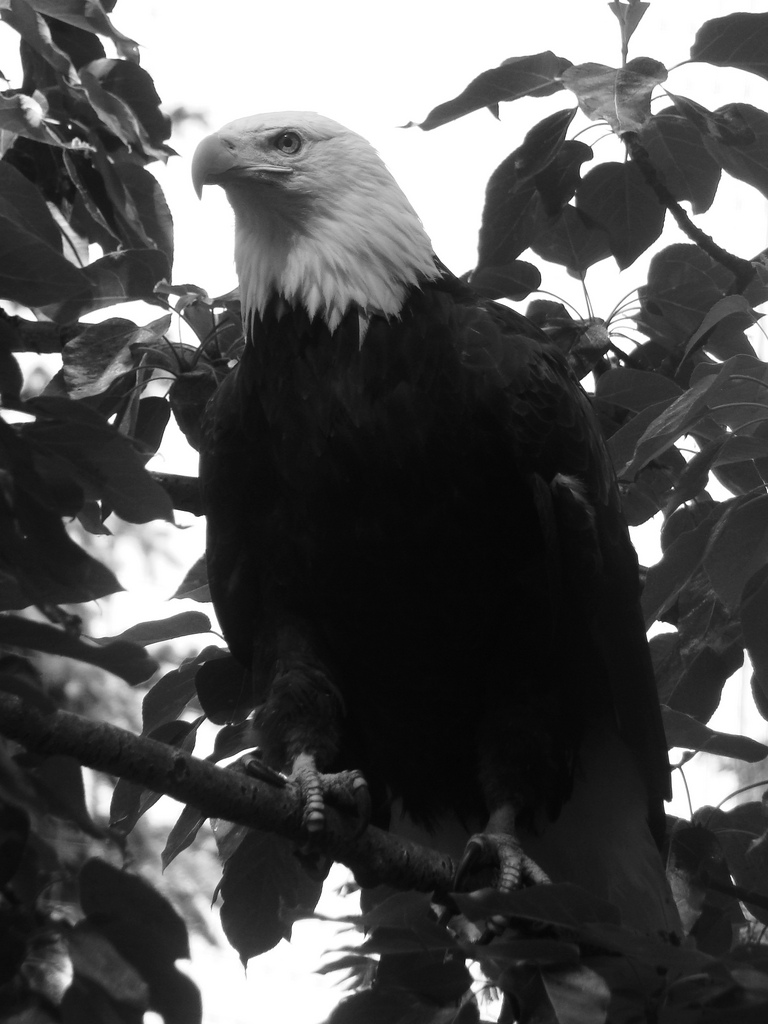Bald Eagle - North America