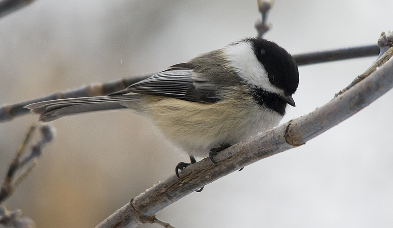 Black-capped Chickadee toll collector