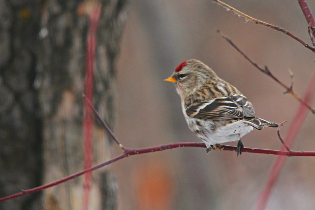 Redpolls were abundant at the feeders