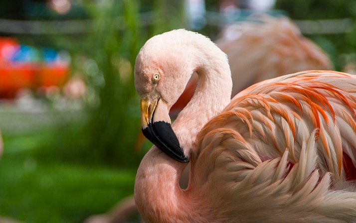 American or Carribean Flamingo - North and Central America and the Carribean islands