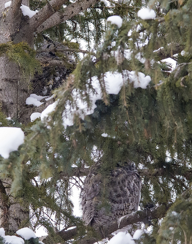 Great Horned Owls 3 & 4