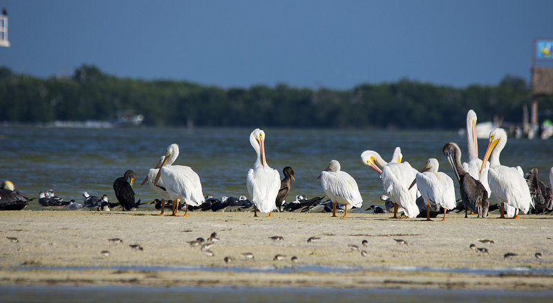 American White Pelican and Peeps