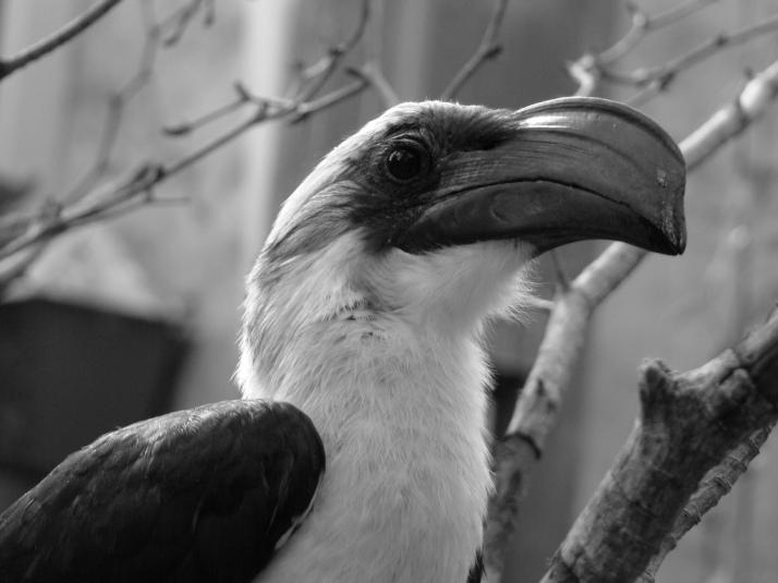 Van der Decken's Hornbill - Africa