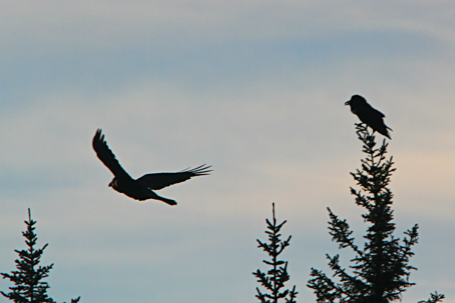 A couple of Ravens announced their presence with distinctive loud croaks; as well as some more unfamiliar vocalizations.