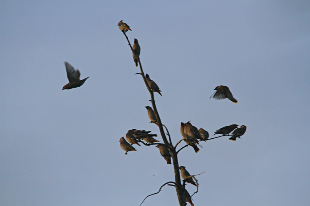 Waxwings ended up stealing the show though through sheer numbers