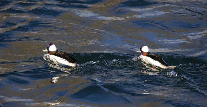 Male Buffleheads in the morning sun