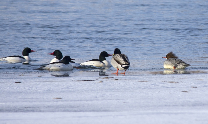 Common Mergansers fighting for a female