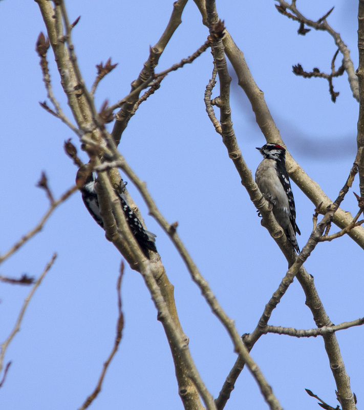 male Downy Woodpeckers