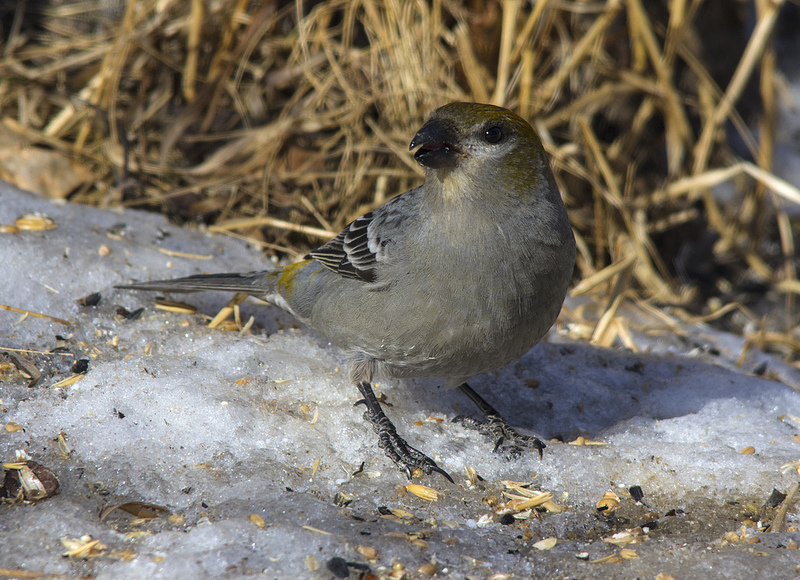 Pine Grosbeak chowing down on some seeds