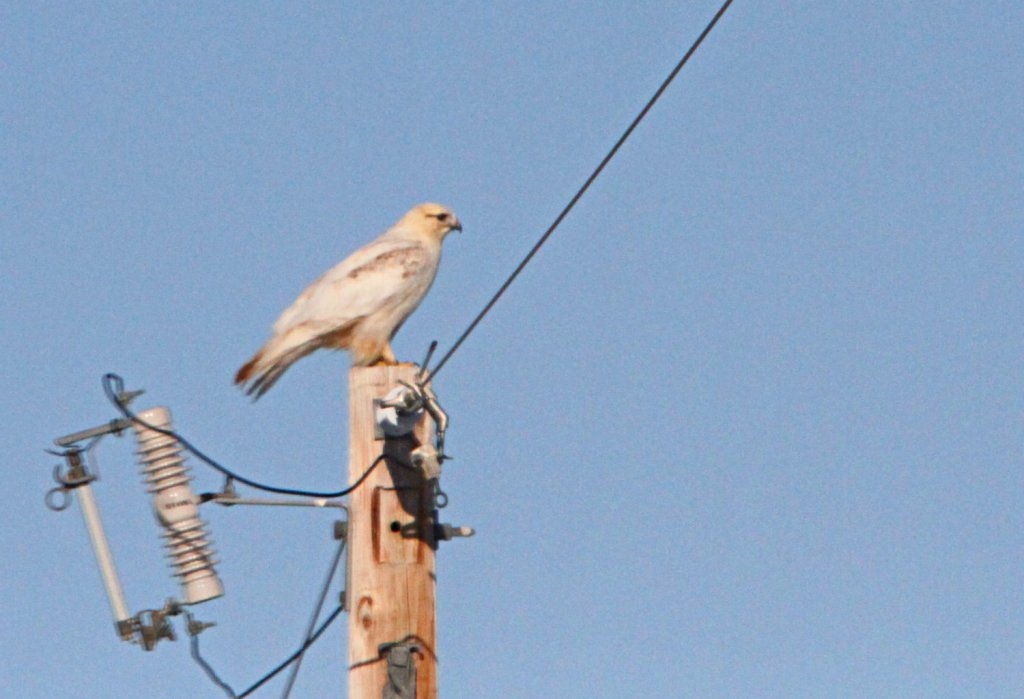 Leucistic Rough-legged Hawk