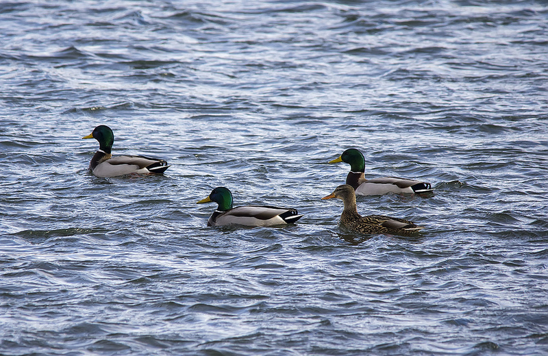 Just a few of the thousands of Mallards seen on, or flying over, the river today
