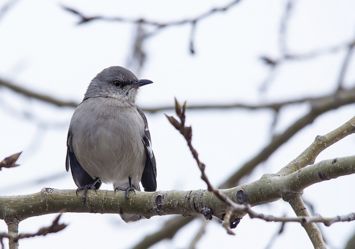 This Northern Mockingbird looks very smug