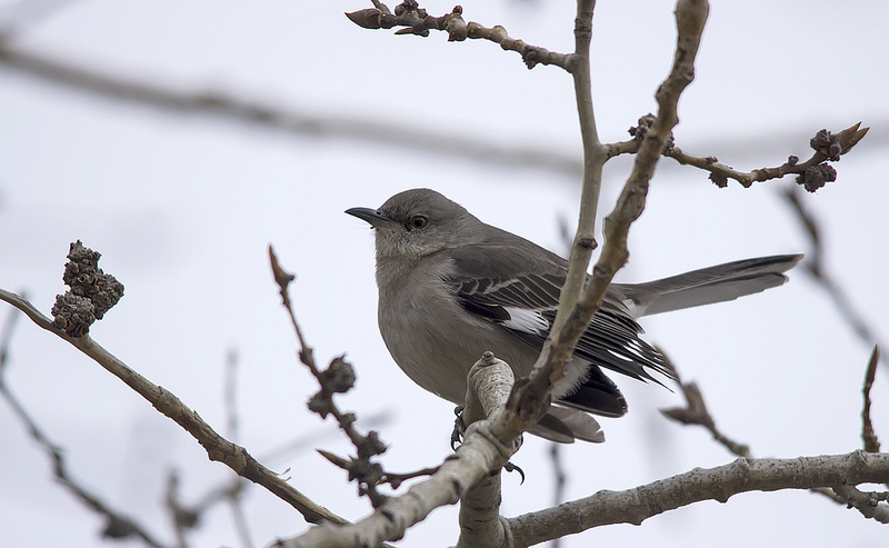 The typical Northern Mockingbird side profile. Note the heavy white wing bars and tail feathers.