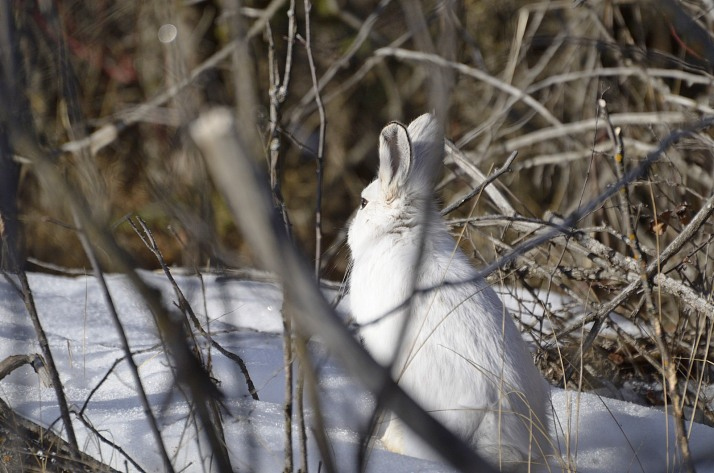 Snowshoe Hare.Photo by Paul Turbitt