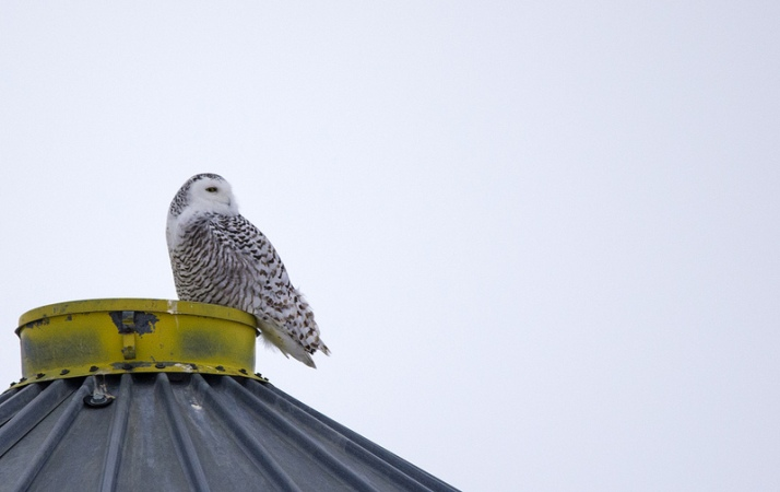 Snowy Owl on a grain silo
