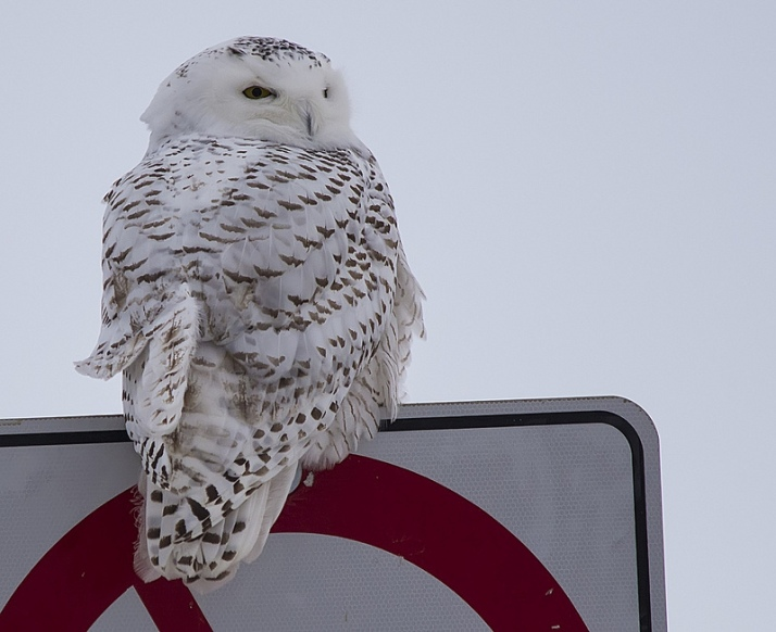 One very brave Snowy Owl who isn't the slightest bit disturbed by cars.