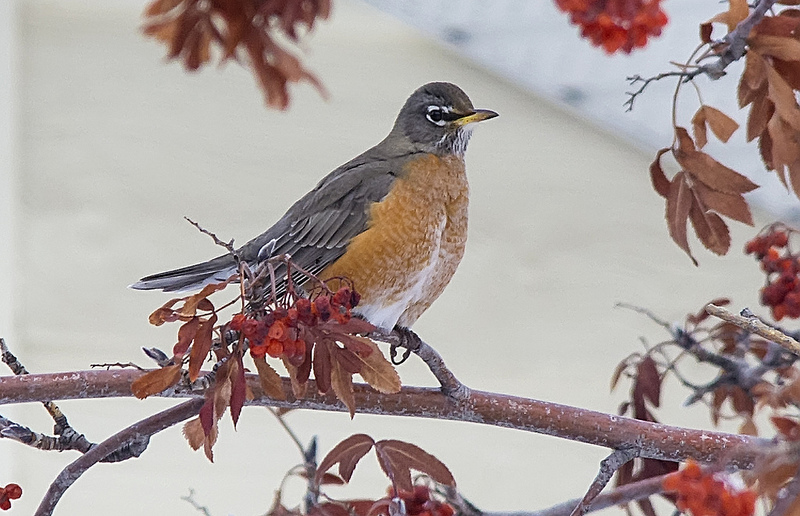 American Robin, January 14, 2013