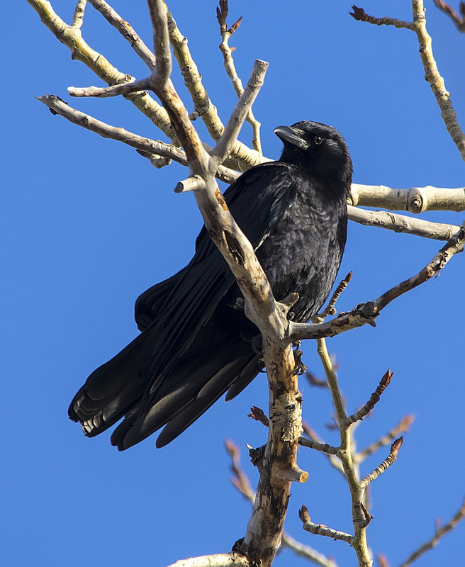 American Crow, February 3, 2013, Carburn Park