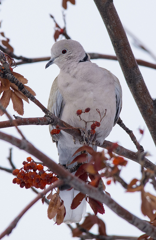 Eurasian Collared Dove, January 14, 2013