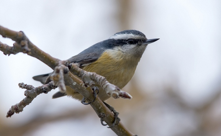 female Red-breasted Nuthatch