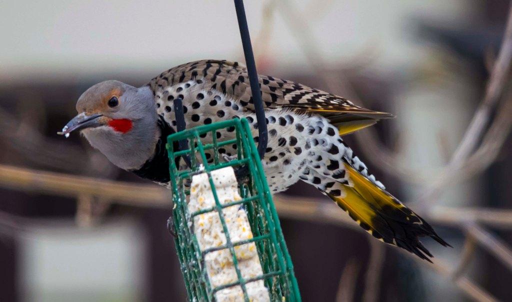 male Northern Flicker (intergrade)
