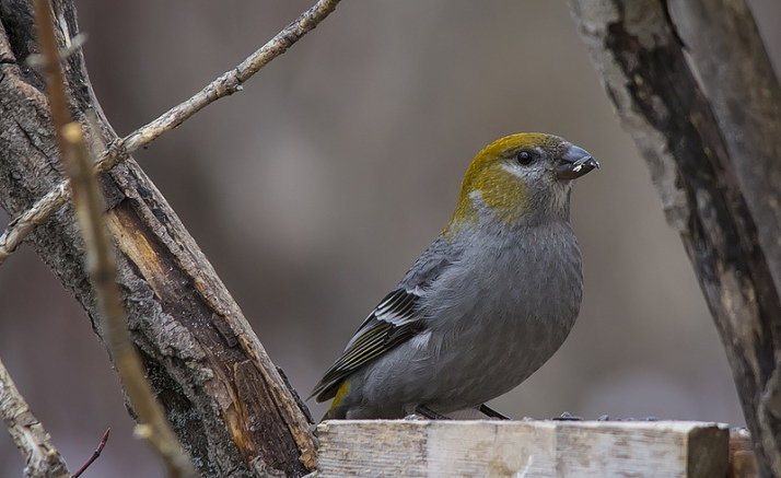 Immature male Pine Grosbeak