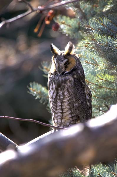 Long-eared Owl 7