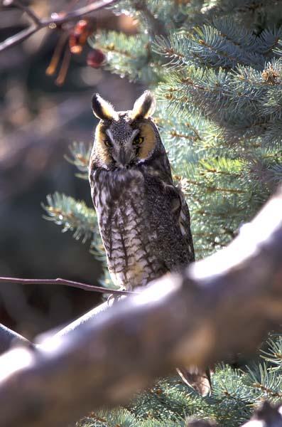 Long-eared Owl 6