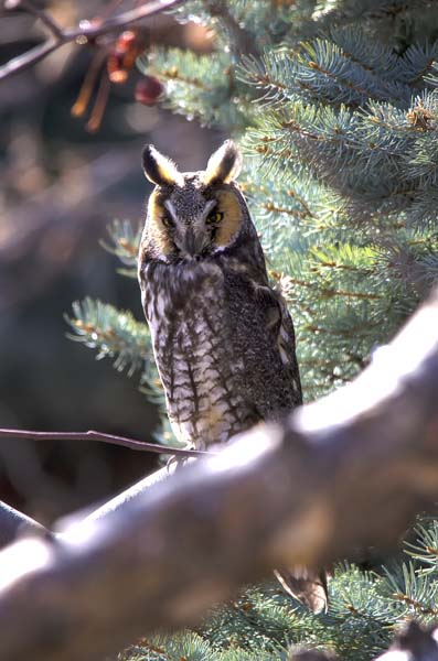 Long-eared Owl 6