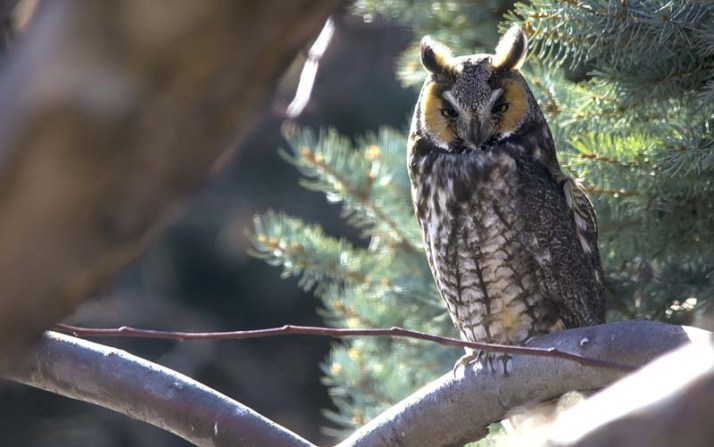Long-eared Owl 5