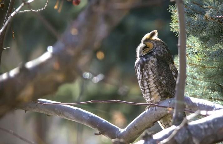 Long-eared Owl 4