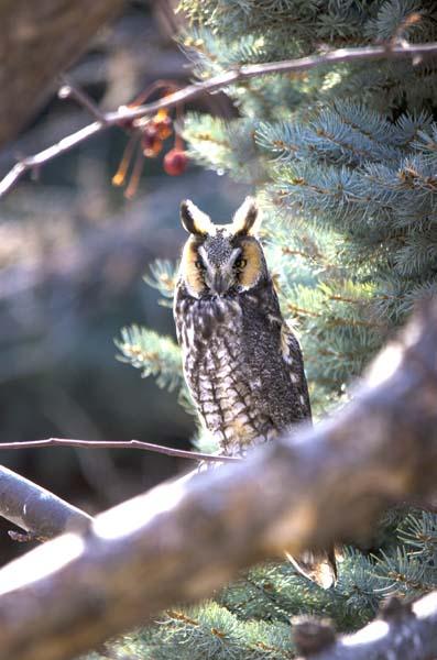 Long-eared Owl 1