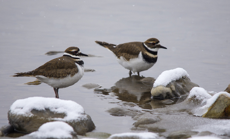Killdeer pair, March 17, 2013, Griffith Woods Park