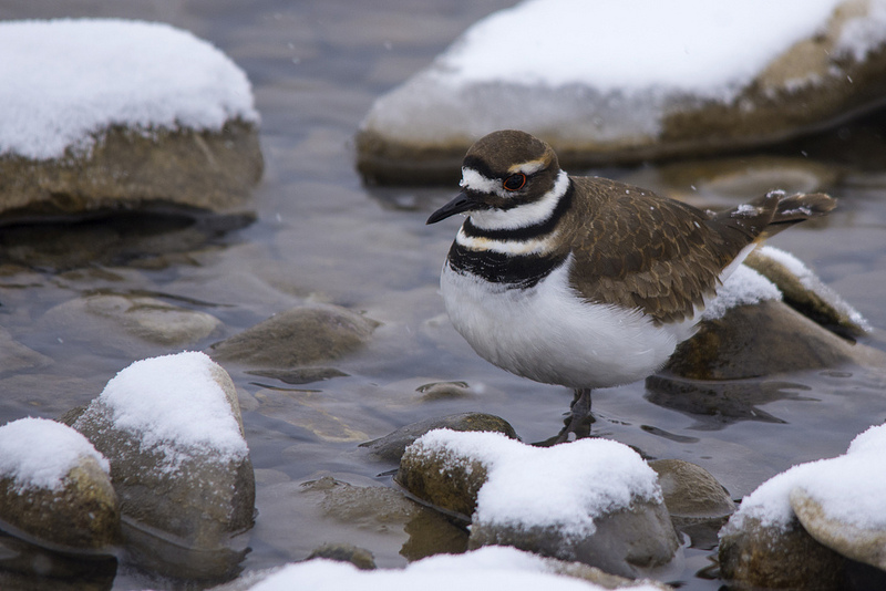 Killdeer, March 17, 2013, Griffith Woods Park (image uncropped)
