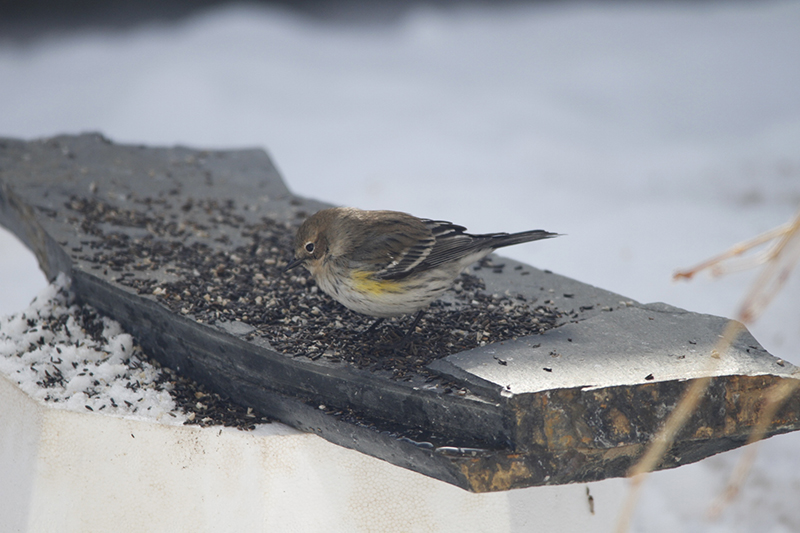 Yellow-rumped Warbler foraging