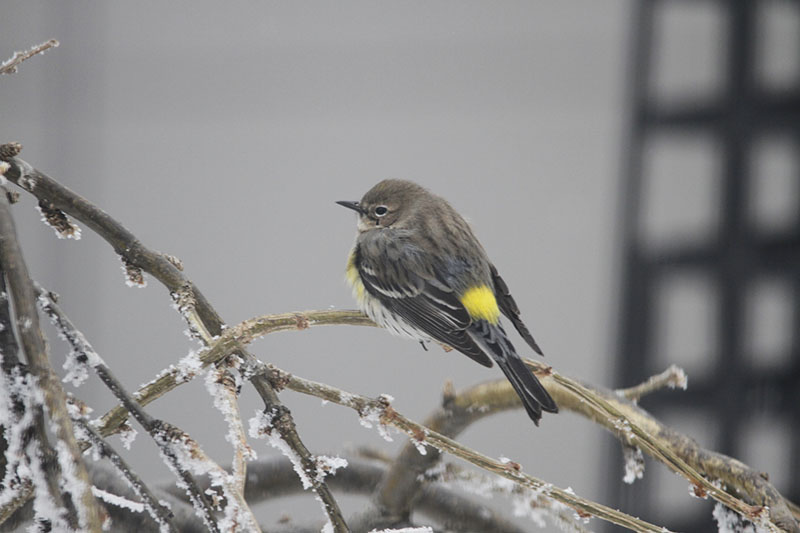 Yellow-rumped Warbler showing off it's namesake (Photo by Joanne Nemeth)