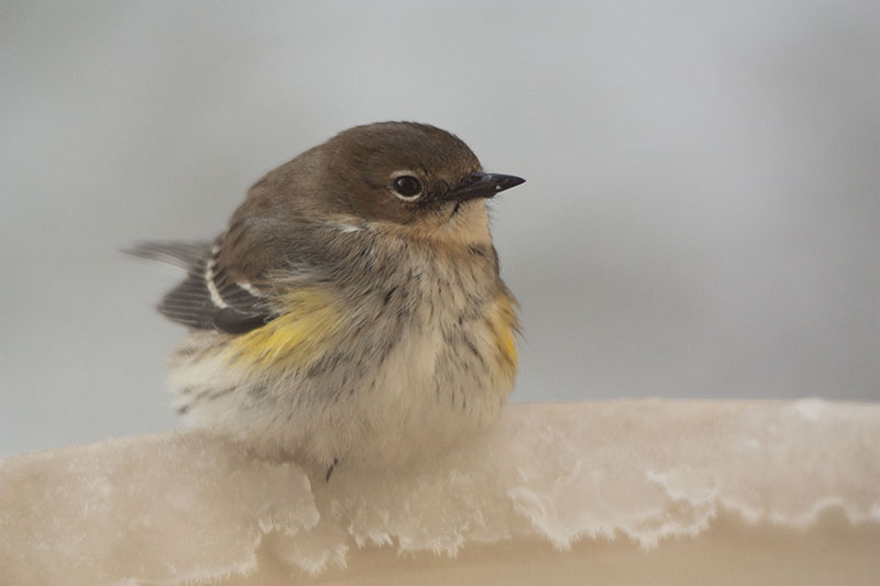 Yellow-rumped Warbler at the bird bath