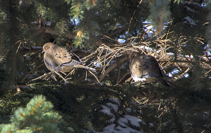 Mourning Doves in November, 2012