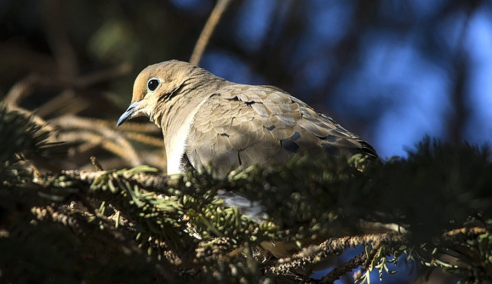 Mourning Dove in February, 2013