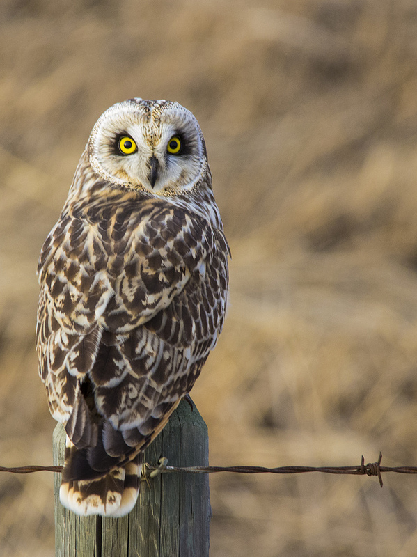 female Short-eared Owl